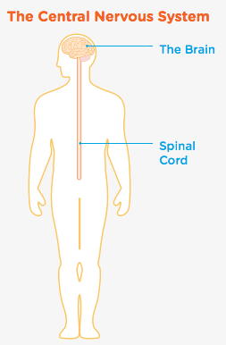 The nervous system and the brain headway ireland the central nervous system is made up of the brain and spinal cord they work together like a control centre which sends and receives messages to and from ccuart Image collections