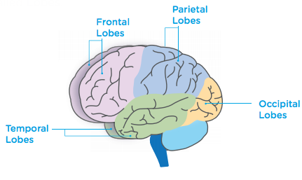 Your Brain Is Particularly Vulnerable >> Lobes Of The Brain And Their Functions Headway Ireland